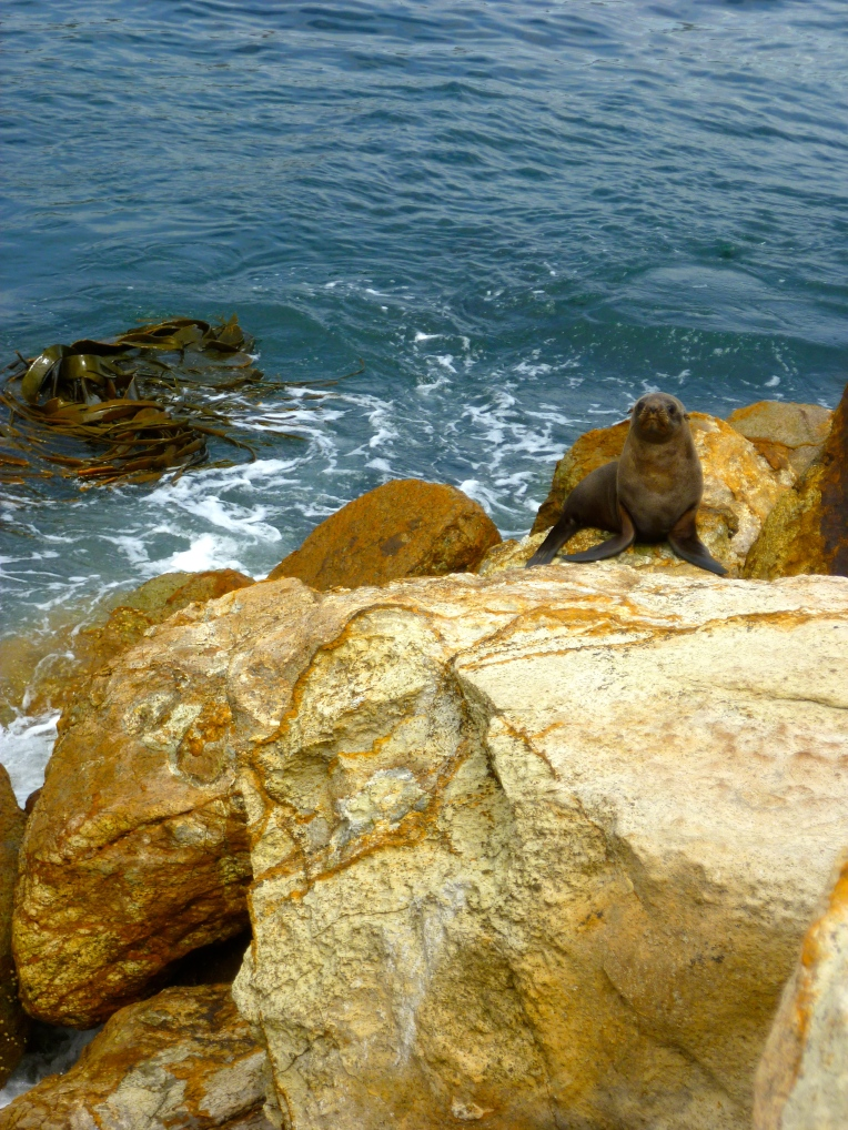 Seal pup at Aromoana.